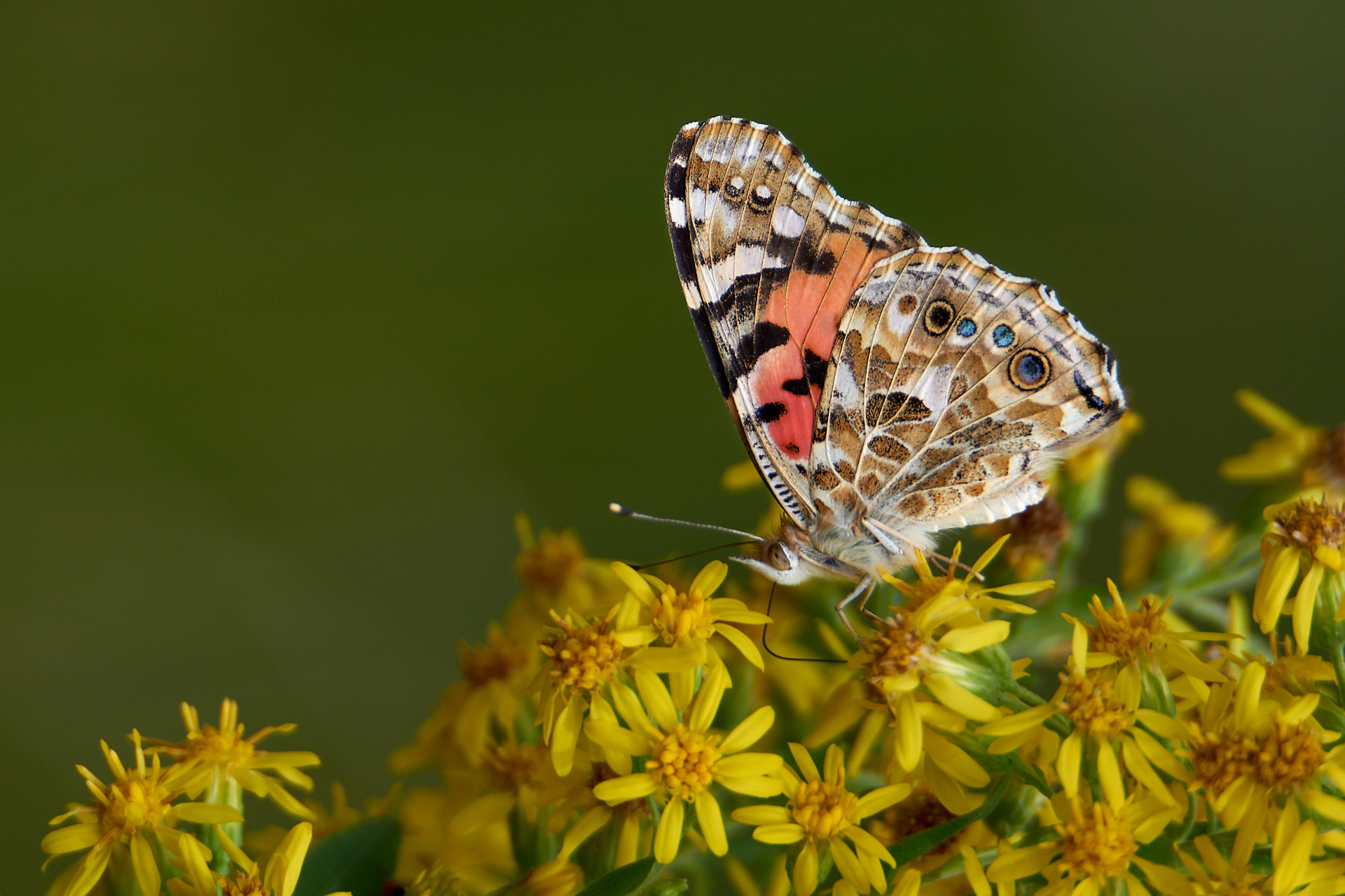 5 Tips for Better Close-up Photography: Butterfly