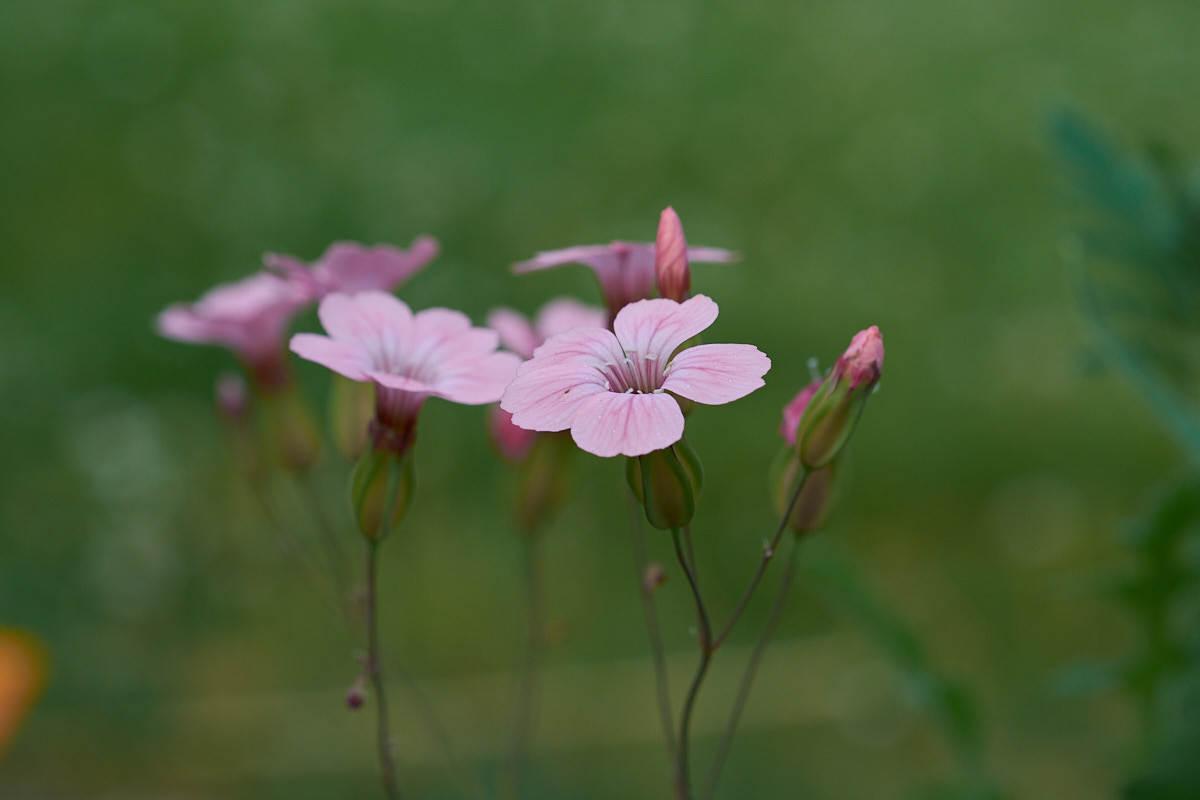 5 Tips for Better Close-up Photography: Pink flowers